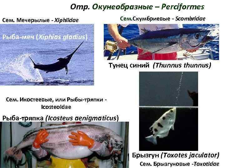 Отр. Окунеобразные – Perciformes Сем. Мечерылые - Xiphiidae
