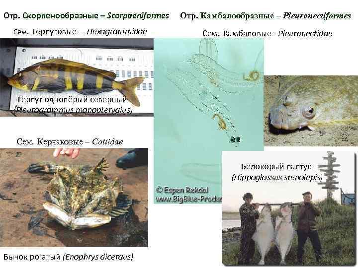 Отр. Скорпенообразные – Scorpaeniformes Отр. Камбалообразные – Pleuronectiformes  Сем. Терпуговые – Hexagrammidae