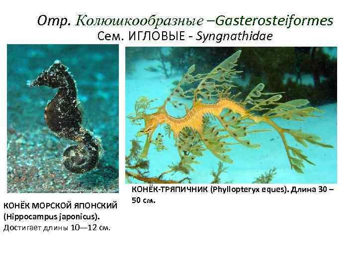 Отр. Колюшкообразные –Gasterosteiformes     Сем. ИГЛОВЫЕ - Syngnathidae