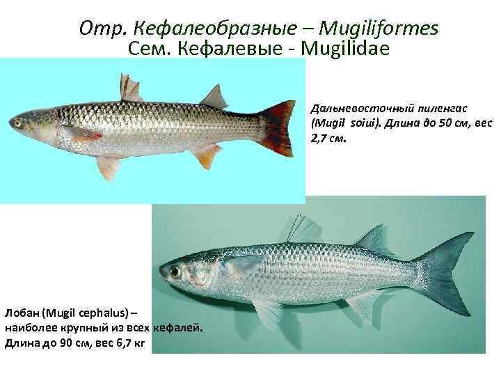 Отр. Кефалеобразные – Mugiliformes   Сем. Кефалевые - Mugilidae