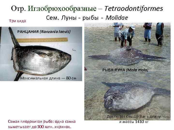 Отр. Иглобрюхообразные – Tetraodontiformes Три вида    Сем. Луны - рыбы