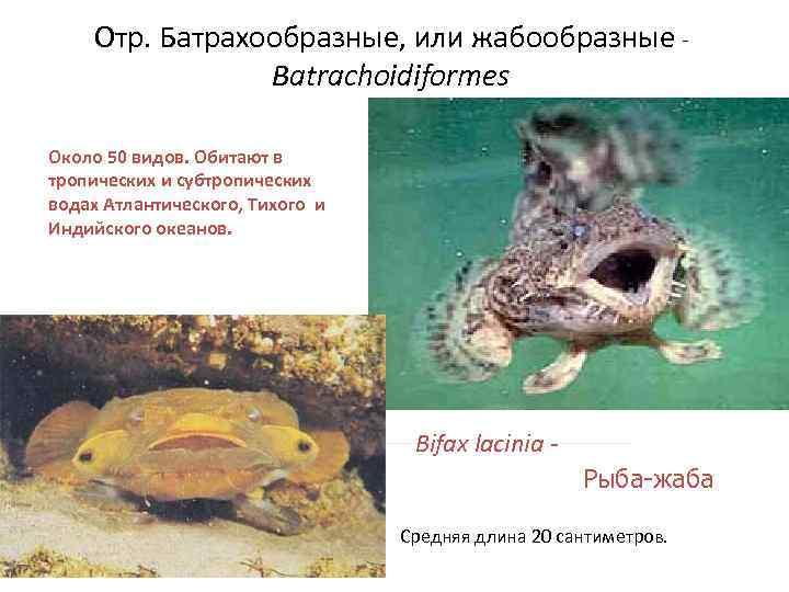 Отр. Батрахообразные, или жабообразные -   Batrachoidiformes Около 50 видов. Обитают в
