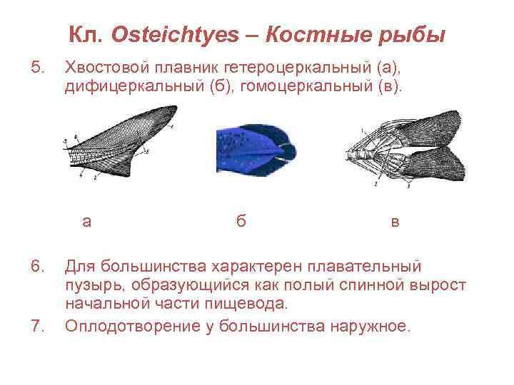 Кл. Osteichtyes – Костные рыбы 5.  Хвостовой плавник гетероцеркальный (а),  дифицеркальный