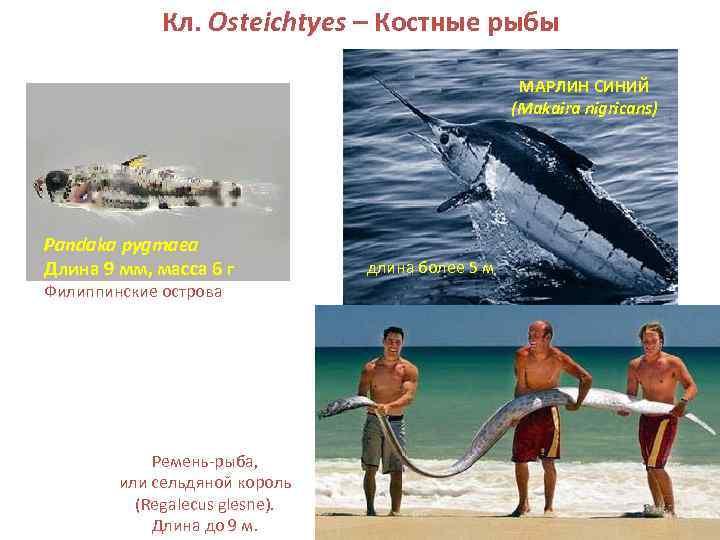 Кл. Osteichtyes – Костные рыбы     МАРЛИН СИНИЙ