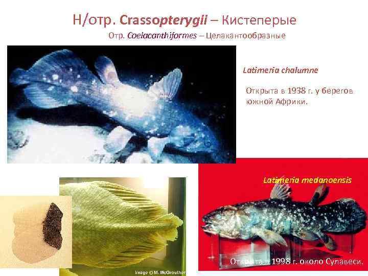 Н/отр. Crassopterygii – Кистеперые Отр. Coelacanthiformes – Целакантообразные
