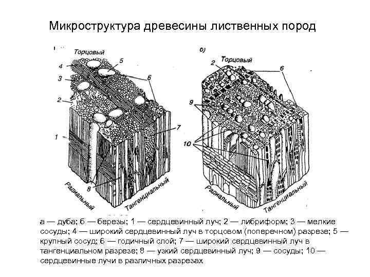 приманивает сотню схема микроскопического строения древесины дуба существовании