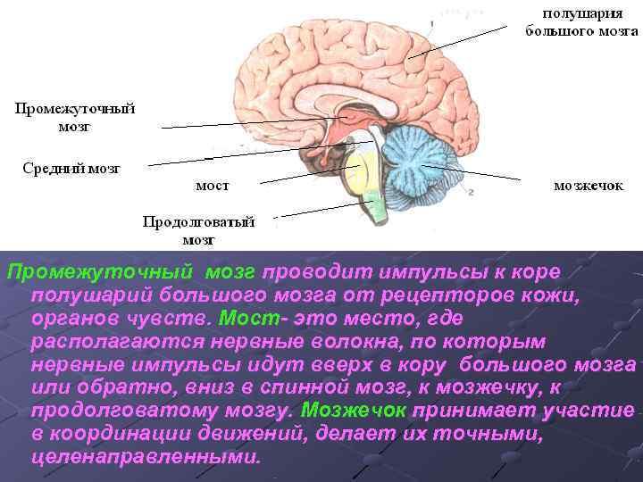 Промежуточный мозг проводит импульсы к коре  полушарий большого мозга от рецепторов кожи,