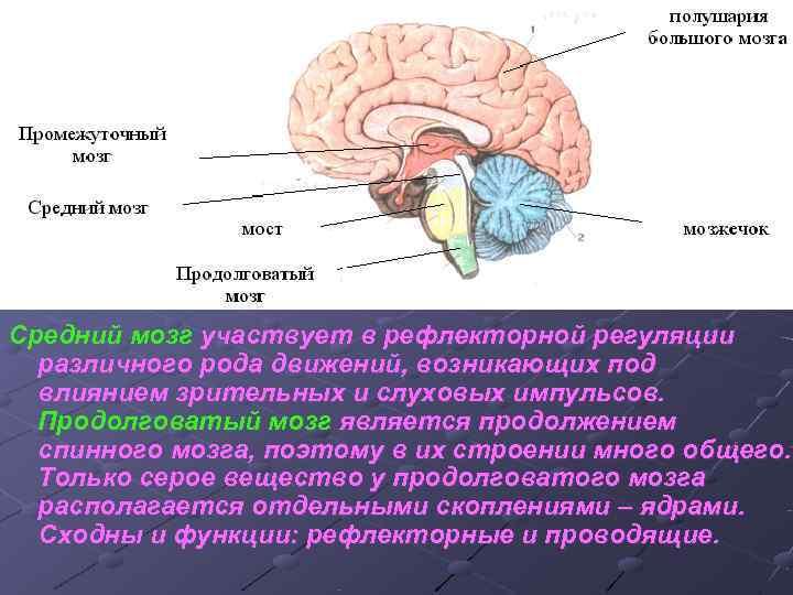 Средний мозг участвует в рефлекторной регуляции  различного рода движений, возникающих под  влиянием