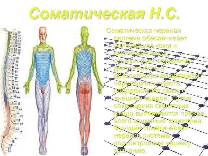 Соматическая Н. С.   Соматическая нервная  система обеспечивает   иннервацию кожи