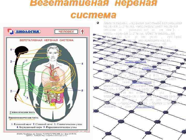 Вегетативная нервная  система  Вегетативная нервная система( автономная   нервная система), непроизвольная