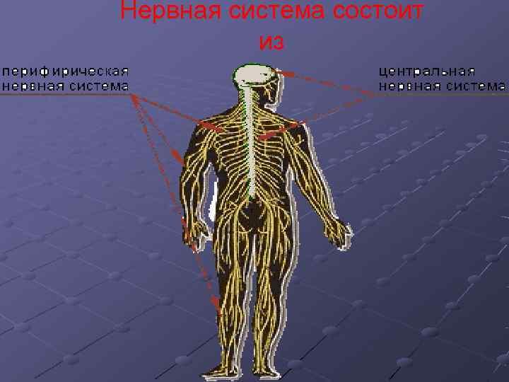 Нервная система состоит  из
