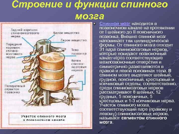 Строение и функции спинного  мозга    Спинной мозг находится в