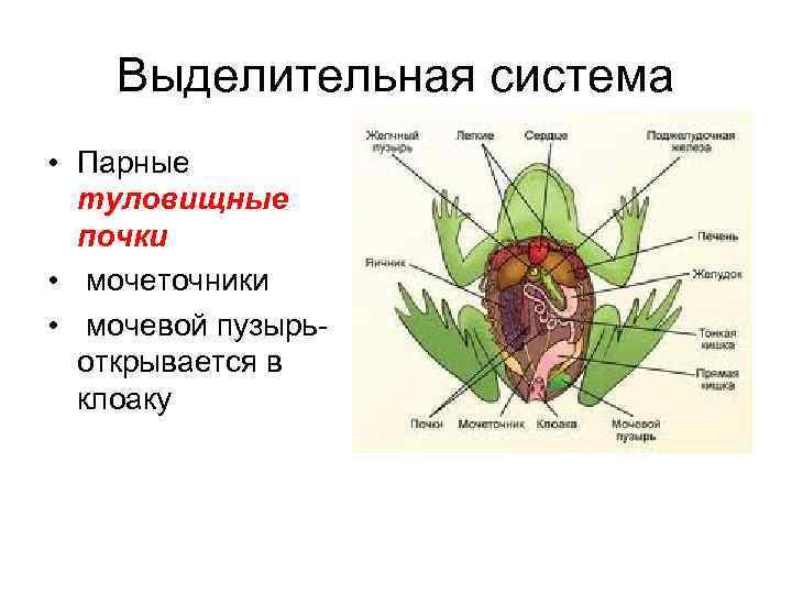 Выделительная система • Парные  туловищные  почки • мочеточники • мочевой