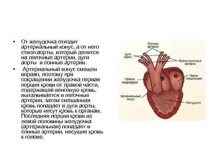 •  От желудочка отходит артериальный конус, а от него ствол аорты, который