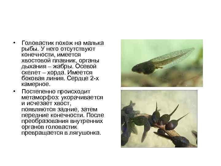 • Головастик похож на малька  рыбы. У него отсутствуют  конечности, имеется