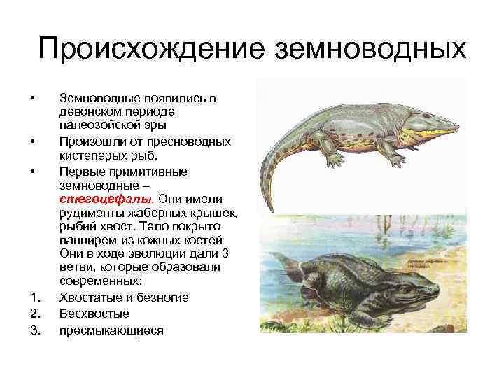 Происхождение земноводных • Земноводные появились в девонском периоде палеозойской эры • Произошли