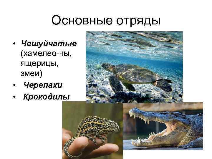 Основные отряды • Чешуйчатые  (хамелео ны,  ящерицы,  змеи) •
