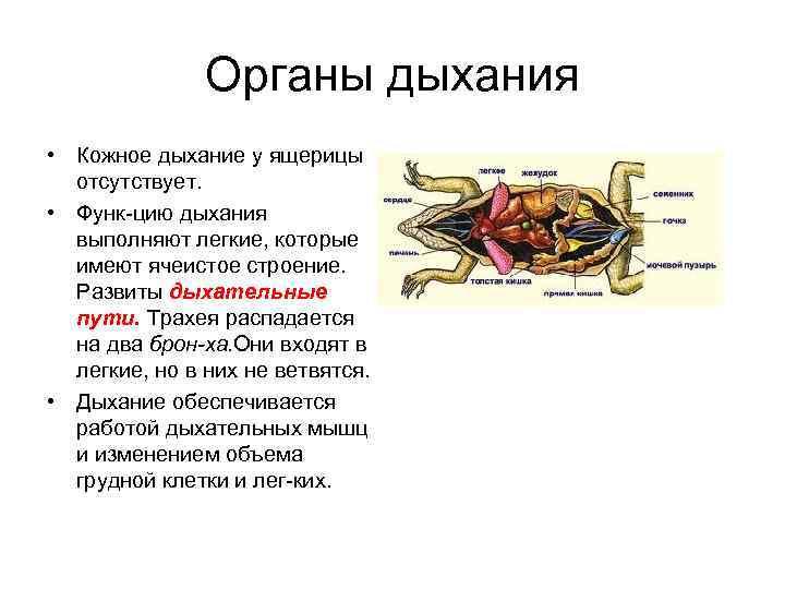 Органы дыхания • Кожное дыхание у ящерицы  отсутствует.
