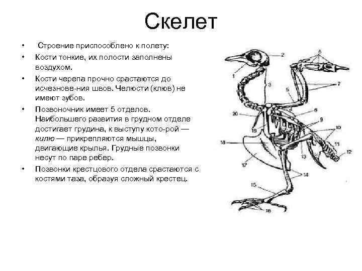 Скелет • Строение приспособлено к полету:  •