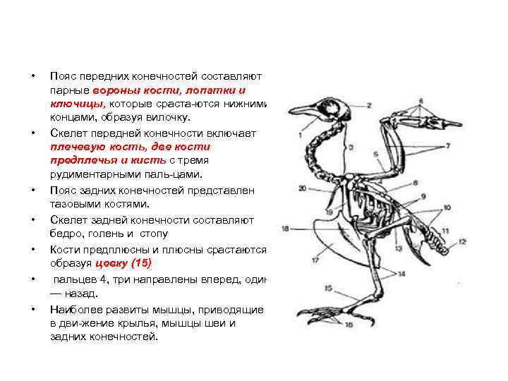 •  Пояс передних конечностей составляют парные вороньи кости, лопатки и ключицы, которые