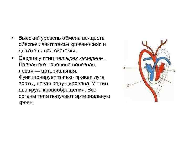 • Высокий уровень обмена ве ществ  обеспечивают также кровеносная и  дыхатель