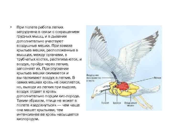 •  При полете работа легких затруднена в связи с сокращением грудных мышц,