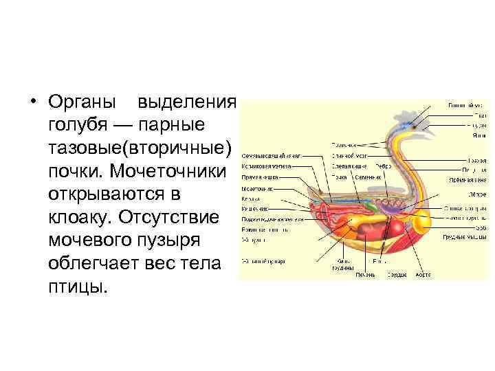 • Органы выделения  голубя — парные  тазовые(вторичные)  почки. Мочеточники