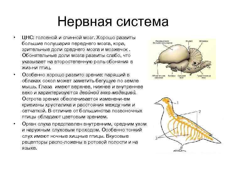 Нервная система •  ЦНС: головной и спинной мозг. Хорошо развиты