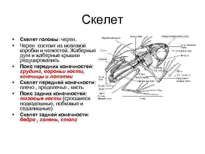 Скелет •  Скелет головы: череп.  •