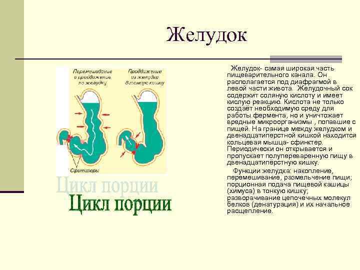 Желудок  Желудок- самая широкая часть пищеварительного канала. Он располагается под диафрагмой в левой