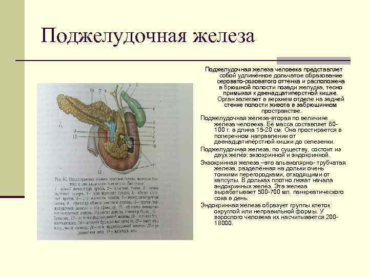 Поджелудочная железа    Поджелудочная железа человека представляет     собой