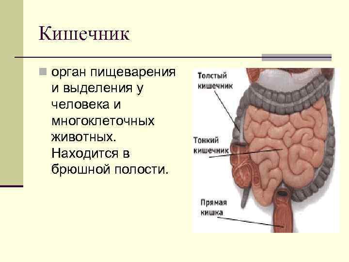 Кишечник n орган пищеварения и выделения у человека и многоклеточных животных.  Находится в