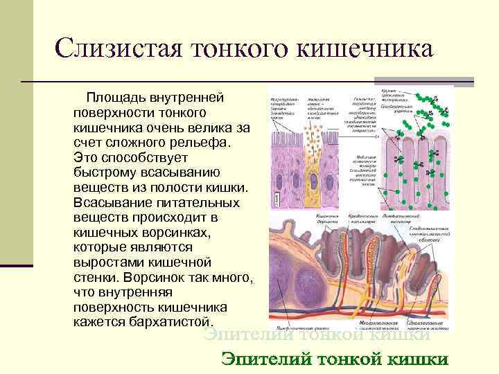 Слизистая тонкого кишечника  Площадь внутренней поверхности тонкого кишечника очень велика за счет сложного