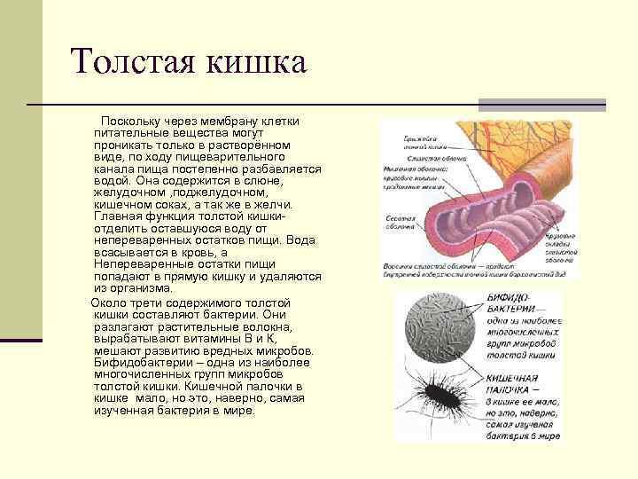 Толстая кишка  Поскольку через мембрану клетки питательные вещества могут проникать только в растворённом