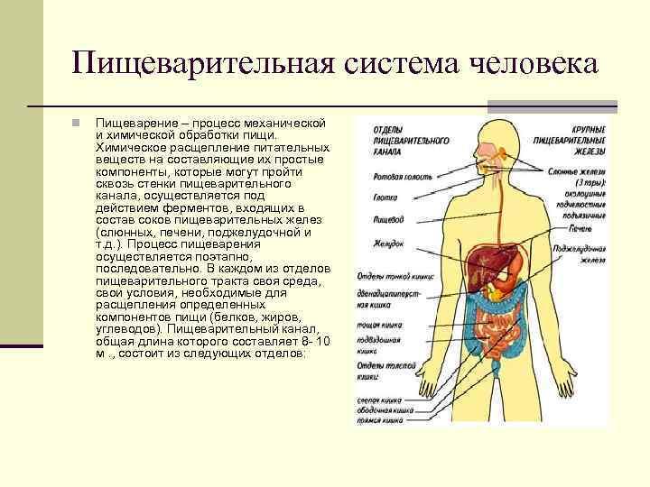 Пищеварительная система человека n  Пищеварение – процесс механической и химической обработки пищи. Химическое