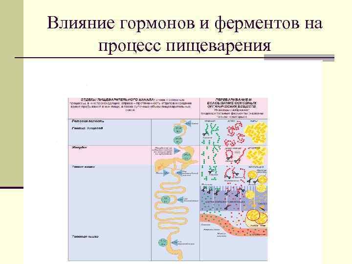 Влияние гормонов и ферментов на процесс пищеварения