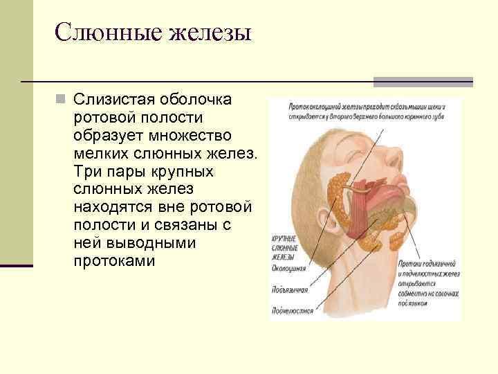 Слюнные железы n Слизистая оболочка  ротовой полости  образует множество  мелких слюнных