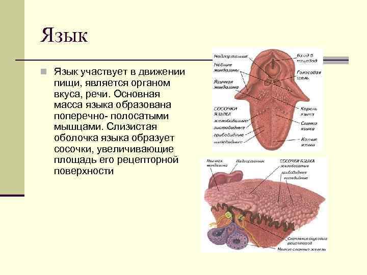 Язык n Язык участвует в движении  пищи, является органом  вкуса, речи. Основная