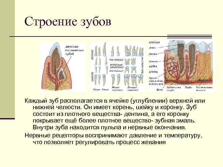 Строение зубов Каждый зуб располагается в ячейке (углублении) верхней или  нижней челюсти. Он
