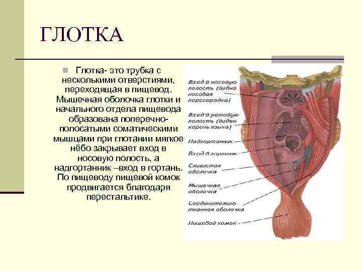 ГЛОТКА  n Глотка- это трубка с  несколькими отверстиями, переходящая в пищевод. Мышечная