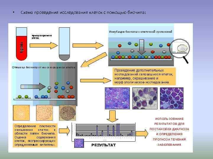 •  Схема проведения исследования клеток с помощью биочипа: