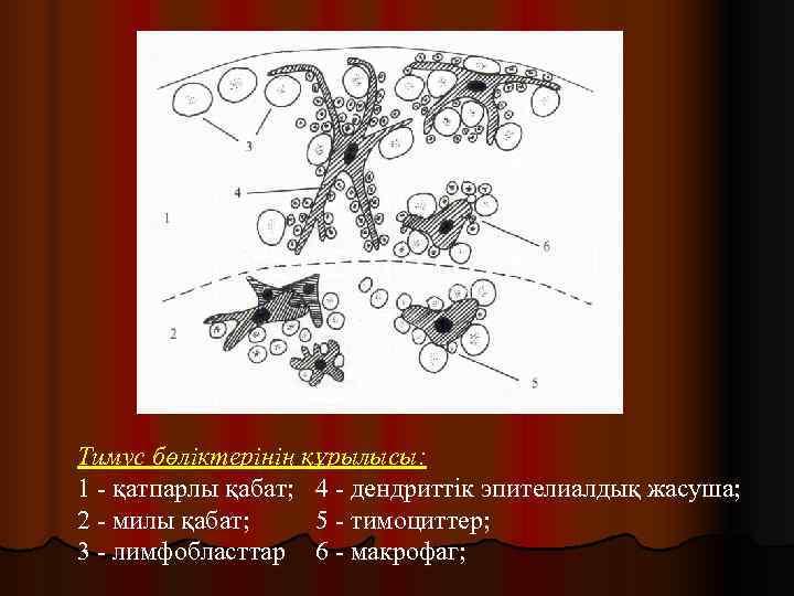 Тимус бөліктерінің құрылысы: 1 - қатпарлы қабат; 4 - дендриттік эпителиалдық жасуша; 2 -