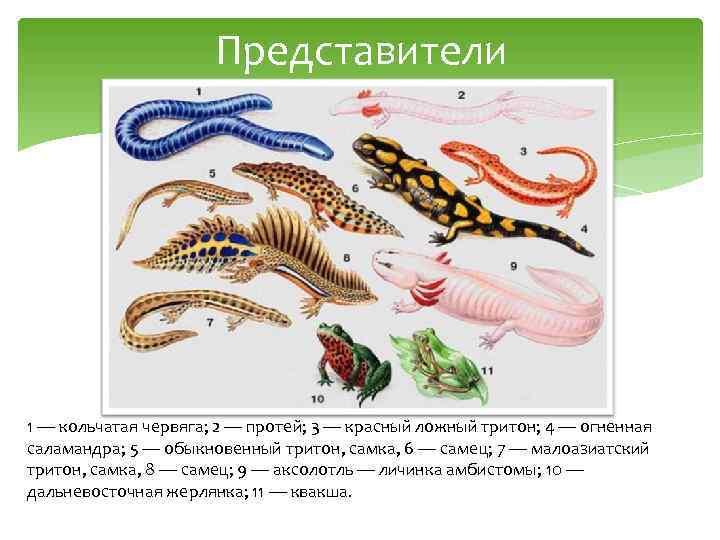 Представители 1 — кольчатая червяга; 2 — протей; 3