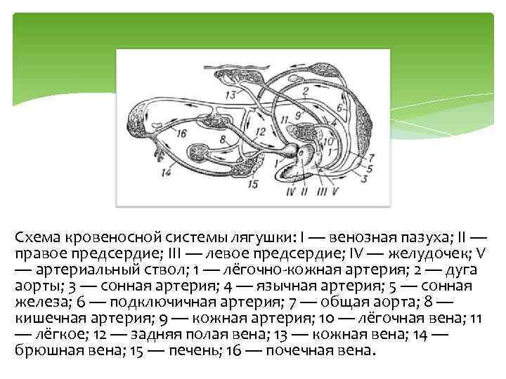 Схема кровеносной системы лягушки: I — венозная пазуха; II — правое предсердие; III —