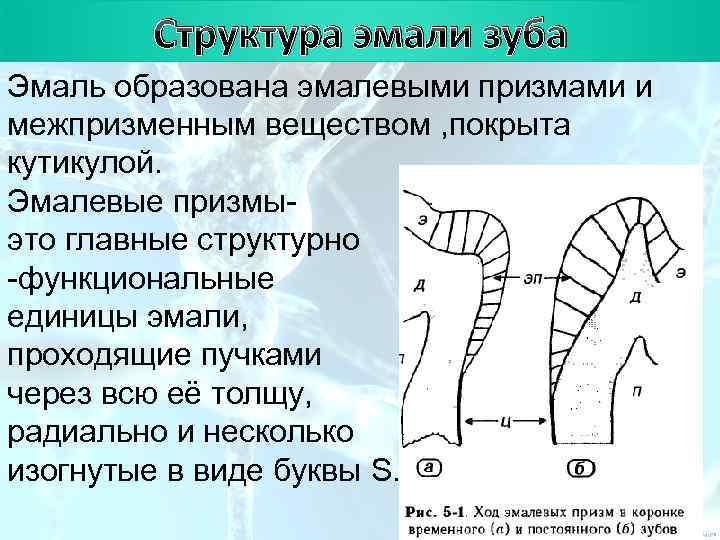 План   Структура эмали зуба Эмаль образована эмалевыми призмами