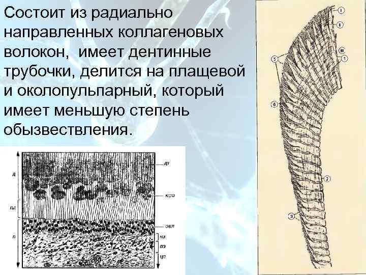 План Состоит из радиально направленных коллагеновых волокон, имеет дентинные трубочки,