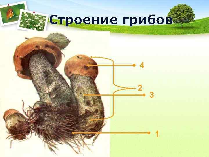 Строение грибов   4  2    3