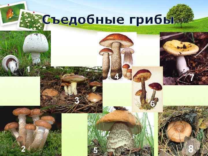 Съедобные грибы  1    4  7