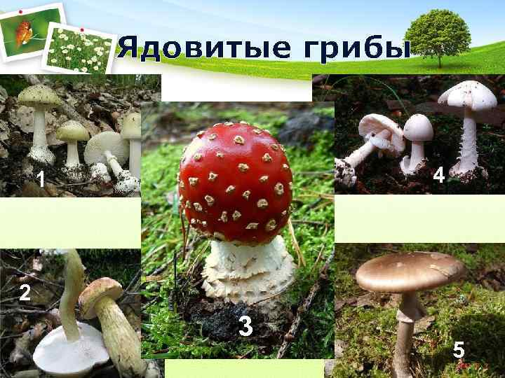 Ядовитые грибы  1    4 2   3