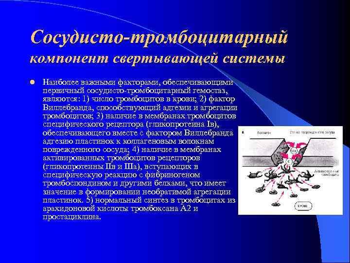 Сосудисто-тромбоцитарный компонент свертывающей системы l  Наиболее важными факторами, обеспечивающими первичный сосудисто тромбоцитарный гемостаз,